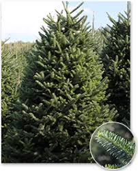 Fraser Fir Christmas Trees Delivered by Real Christmas Trees Green Valley Christmas Trees