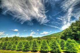 Tannenbaum Christmas Tree Farm Michigan by Starting A Christmas Tree Farm