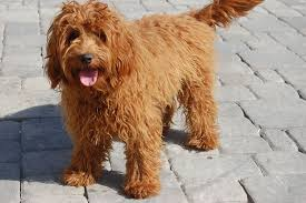Low Shedding Big Dogs by Miniature Labradoodle Dog Info Temperament Puppies Training