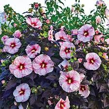fall sale save up to 75 hibiscus