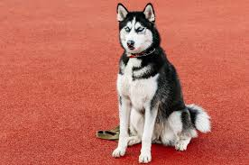 Do Samoyed Huskies Shed by 8 Truly Wonderful Sled Dog Breeds You Should Know About