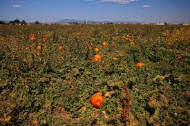 Mccalls Pumpkin Patch Moriarty New Mexico by Mccalls Pumpkin Patch New Mexico 2014