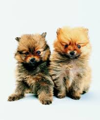 Do Hypoallergenic Dogs Shed As Puppies by Do Dogs Shed Their Baby Fur Dog Care The Daily Puppy