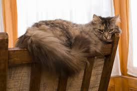 forest cat vs maine coon how to distinguish between a forest cat a maine coon
