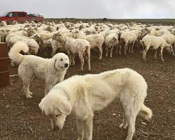 Guard Dogs That Dont Shed by April 2017 Ladder Ranch