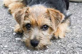 Low Shed Family Dog Breeds by 13 Low Shed Family Dog Breeds Cute Dog Breeds That Dont