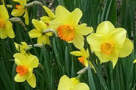 buy daffodil bulbs ashridge nurseries