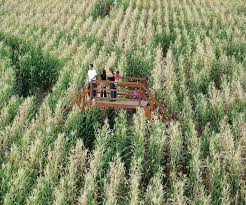 Hawes Farm Pumpkin Patch Anderson Ca by Master The Maize The Increasingly Big Business Of Corn Mazes