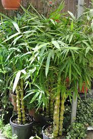 indoor bambus pflege wie muss ich bambus pflegen wir