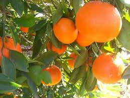 That Oranges On Most Citrus Friendly Caribbean Islands Would Be A Common Locally Grown Readily Available Fruit Well Not If Island Is Cuba