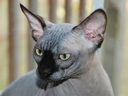 hairless cat price sphynx information characteristics facts names