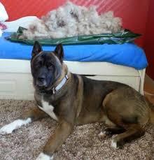 do haired akitas shed akita grooming washing tips akita world