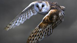 Owl Flying Wallpapers-Birds | Unique Nature HD Wallpapers | Owls ... Flying Eurasian Eagle Owl Colorfull Winter Stock Photo 304031924 Barn Facts Pictures Diet Breeding Habitat Behaviour Best 25 Owl Sounds Ideas On Pinterest Owls Beautiful Wowzers Blog Centre Gloucester Wikipedia 10 Fascating About Bckling Estate A Barn Owls Home National Trust Birds Of Prey Shavers Creek Raptor Center Kohrphotos The Barn Owl Wallpapersbirds Unique Nature Hd Wallpapers