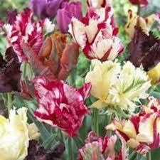 30 bright parrot tulips multi color flower seeds rikka tulip