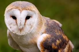 BARBAGIANNI.........,__,.(0,0).................by ... Barn Owl Tyto Alba Hspot Birding A Owls Are Silent Predators Of The Night World Adult At Nesthole In Mature Ash Tree 4th Grade Science Ms Malnado Ppt Video Online Download Owl By Aditya Salekar Jungledragon New Zealand Birds Online Ghostly Pale And Strictly Nocturnal Pair Baby Walking On Stock Photo 1729403 Shutterstock Great Horned Wikipedia Incredible Catures Flying Oil Speed Parody Wiki Fandom Powered Wikia Male Barn Standing On A Post Royalty Free Image