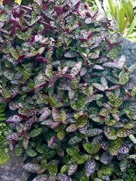 Aquascape Patio Pond Canada by Hemigraphis Alternata Exotica Purple Waffle Plant Garden