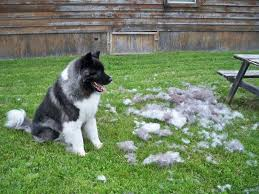 Non Shedding Dog Breeds Small by Non Shedding Dogs Types Breeds And Their Characteristics