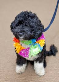 Portuguese Water Dog Shedding Problems by White House Dogs The Obama Dog Is A Portuguese Water Dog The