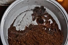 Do Tarantulas Molt Upside Down by Nine Image Curly Haired Tarantula Brachypelma Albopilosum Molt