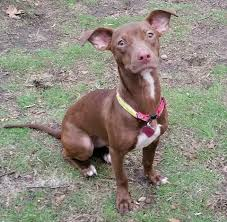 Why Is My Italian Greyhound Shedding by Sheree U0027s Dog Rescue Home Facebook