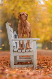 Do Hungarian Wirehaired Vizslas Shed by 411 Best Vizsla Images On Pinterest Hungarian Vizsla Animals