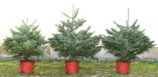 Christmas Tree Species For by Christmas Trees At Bawtry Forest Doncaster Yorkshire And Botany