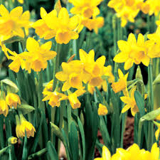 daffodil mini narcissus tete a tete 10 pk crgardencentre