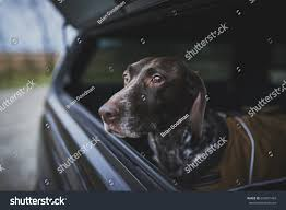Hunting Dog Back Truck Stock Photo 624871433 - Shutterstock Alberta Spca Opens Invesgation After Photos Show Dogs Above Dog Truck Stock Photos Royalty Free Images Travel Hammock Back Seat Cover Protect Your Car Or Is It Legal In Washington To Drive With Your Dog Loose Bed Harness Korrectkritterscom Angry Truck Driver Stock Image Image Of Commuting 35342397 Scania T Rjl Mad Dog Truck Skin 130 Euro Simulator 2 Mods Found Wearing A Jacket What Was The Pocket Led Traveling Pet This Holiday Part 4 Mckinney Animal Tree Roots Tampa Food Trucks Roaming Hunger Facilities Great Of Cute Dogs