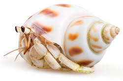 Do Hermit Crabs Shed by Jay U0027s Helping Hands