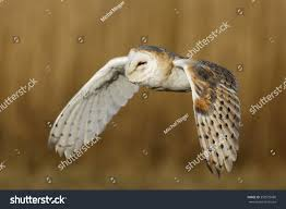 Barn Owl Flying Close Stock Photo 353979680 - Shutterstock Barn Owl Looking Over Shoulder Perched On Old Fence Post Stock Eccles Dinosaur Park Carnivore Carnival The Salt Project Barn Moving Head Side To Slow Motion Video Footage 323 Best Owls Images Pinterest Owls Children And Free Images Wing White Night Animal Wildlife Beak Predator 189 Beautiful Birds Sat A Falconers Glove Photo Royalty Image Paris Owl 150 Pictures Snowy More