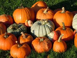 North Plains Pumpkin Patch by Where To Pick Pumpkins Locally This Fall White Plains Ny Patch