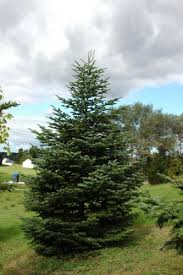 Nordmann Fir Christmas Trees Wholesale by Christmas Trees For Connoisseurs Morning Ag Clips