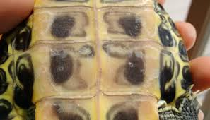 Turtle Shell Not Shedding by Turtle Info 5 Shedding Slate And Scoria