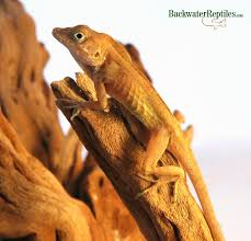 Crested Gecko Shedding Behavior by Lizards Archives Page 4 Of 7 Backwater Reptiles Blog