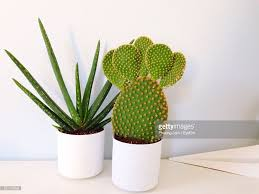 closeup of aloe vera and cactus plant in pots stock photo getty