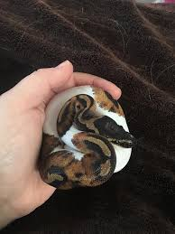 Ball Python Shedding Signs by Our New Addition Pied Ball Python Little Less Than A Year Old