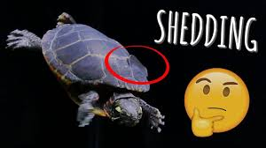 Turtle Shell Not Shedding by Turtle Shell Peeling What To Do During Shedding Turtle 101
