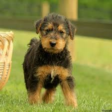 Airedale Terrier Non Shedding by Airedale Terrier Puppies For Sale In Pa Greenfield Puppies