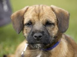 Do Border Terriers Shed by Border Terrier Dog Breed Information Buying Advice Photos And