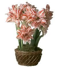 amaryllis pre planted flower bulb gift garden flowers flower