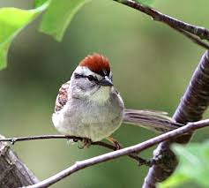 chipping sparrow wild birds of idaho pinterest bird and labs