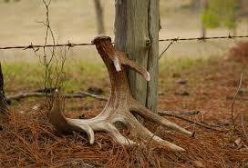 Does Deer Shed Their Antlers by Seeking The Crown The Hunt For Shed Antlers Deer U0026 Deer Hunting