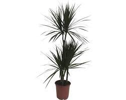 drachenbaum floraself dracaena marginata h ca 115 cm ø 21 cm topf