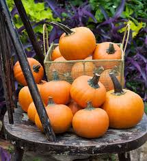 Keep Pumpkins From Rotting On Vine by Wee B Little Pumpkin Small Size Fruit Compact Grower