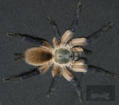 Pumpkin Patch Tarantula For Sale by September 2017 Tarantulas U0026 Other Spiders Price List