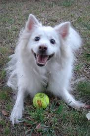 73 best american eskimo dog images on pinterest american eskimo