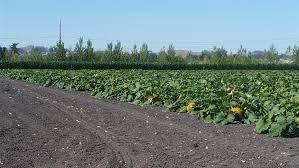 Peter Pumpkin Patch Petaluma by Petaluma Pumpkin Patch And Amazing Corn Maze California Haunted