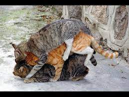 cats mating cats mating and fighting mating 2017