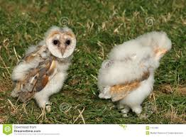 Baby Barn Owls Royalty Free Stock Images - Image: 1107369 Barn Owl Focus On Cservation Best 25 Baby Ideas On Pinterest Beautiful Owls Barn Steal The Show As Day Turns To Night At Heartwood Family Ties Owl Chicks Let Their Hungry Siblings Eat First The Perch Uncommon Banchi Baby Coastal Home Giftware From Horizon Stock Image Image Of Small Young Looking 3249391 You Know Birdnote Banding By Alex Lamoreaux Nemesis Bird