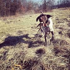 german shorthaired pointer shed lookaway kennels breeders and trainers of german shorthaired